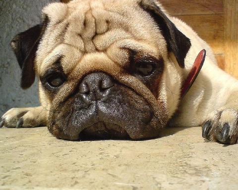 帕格狗拼图益智游戏为大家谁爱可爱,可爱的动物,男人最忠诚的伙伴.