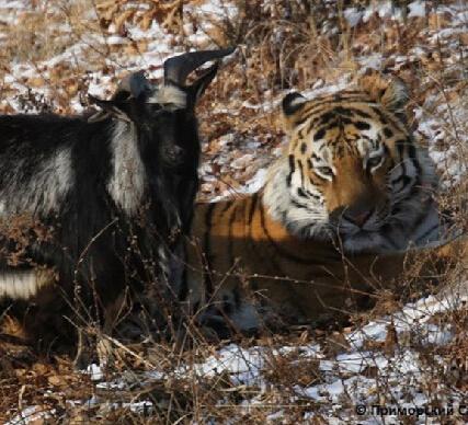山羊可能一辈子没见过老虎
