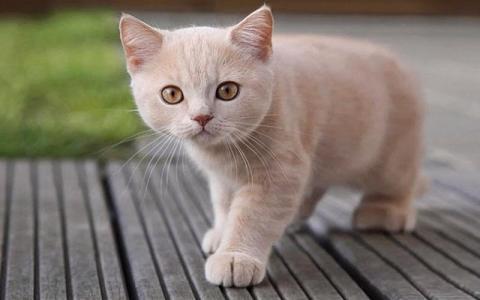 壁纸 动物 猫 猫咪 小猫 桌面 480_300
